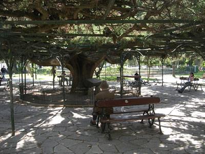 Lisbon Principe Real Parque ceder tree