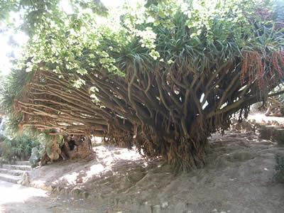 Botanical Garden Lisbon Dracaena Draco dragon tree