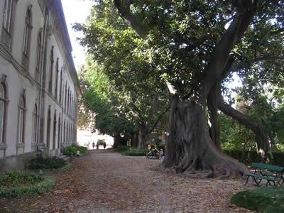 Botanical Garden Lisbon Ficus macrophylla