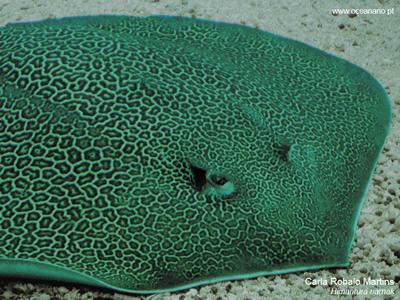 Lisbon Oceanarium Himantura uarnak Honeycomb stingray